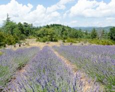 Lavendel mit Bienenstöcken