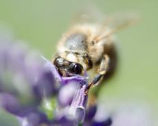 Biene auf Lavendel (Makro)