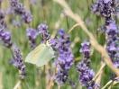 Schmetterling trinkt Lavendelnektar