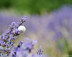 Schnecke im Lavendel