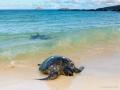 Floreana: Meeresschildkröte