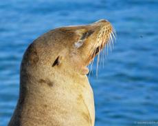 Galapagos-Seehund