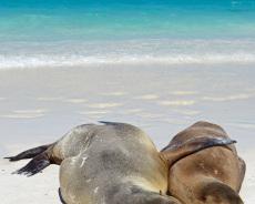 Galapagos-Seehunde