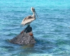 Pelikan & Klippenkrabben