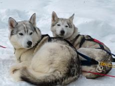 Huskies warten