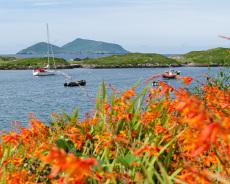 Montbretien an der Küste von Kerry, Irland