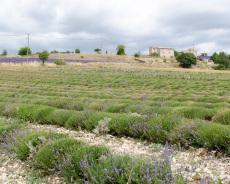 Abgeerntetes Lavendelfeld bei Ferrassières
