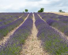 Lavendel bis zum Horizont