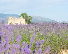 Lavendelfeld auf dem Plateau de Valensole