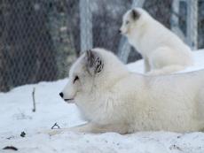 Polarfüchse