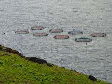 Aquakulturen zur Goldbrassenzucht