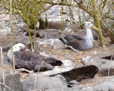 Junge Albatrosse