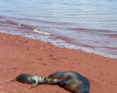 Seelöwen-Mama mit Baby