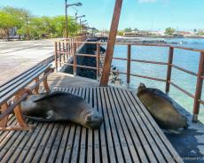 Seelöwen auf der Uferpromenade
