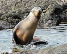 Seelöwe badet im Gezeitenpool