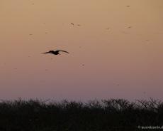Gabelschwanzmöwen in der Abenddämmerung