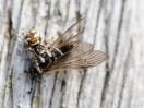 Spinne hat Fliege erbeutet