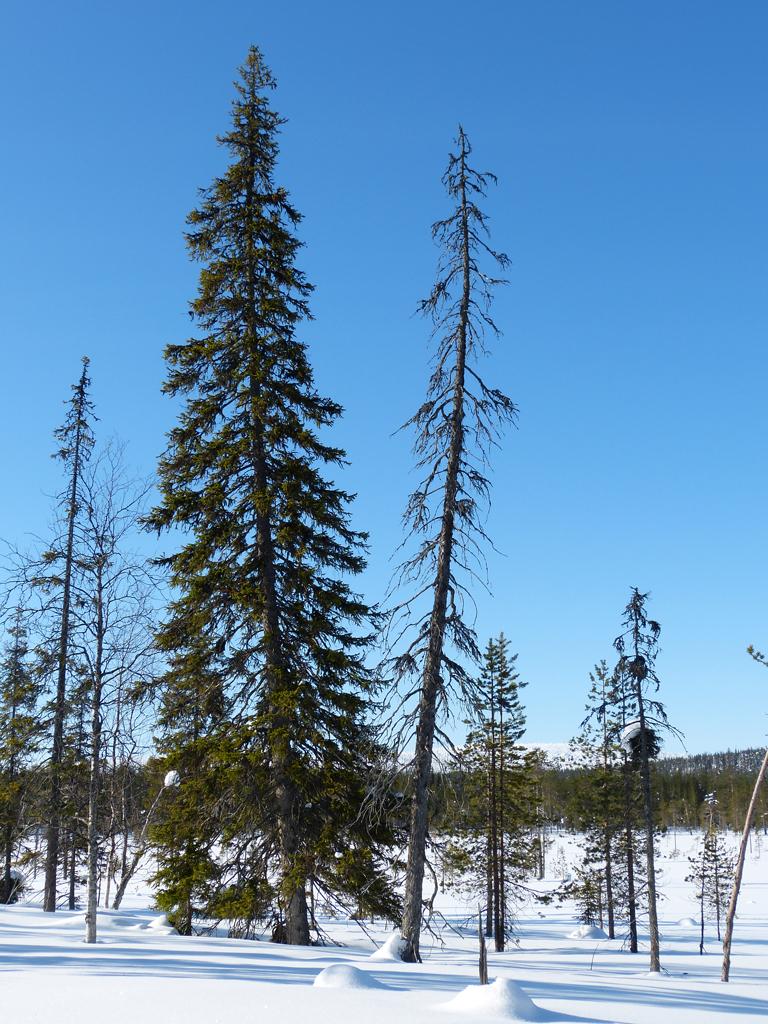 Tannen in Schneelandschaft