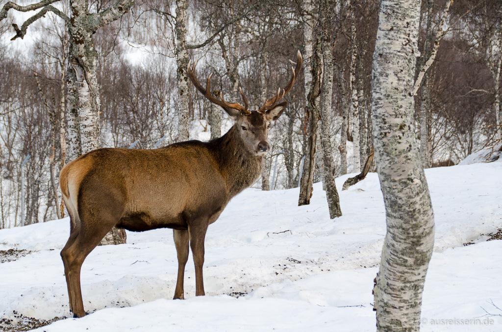 Hirsch im Polar Park