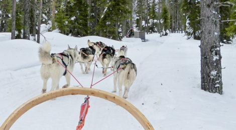 Husky-Tour: Mit dem Hundeschlitten rasant unterwegs