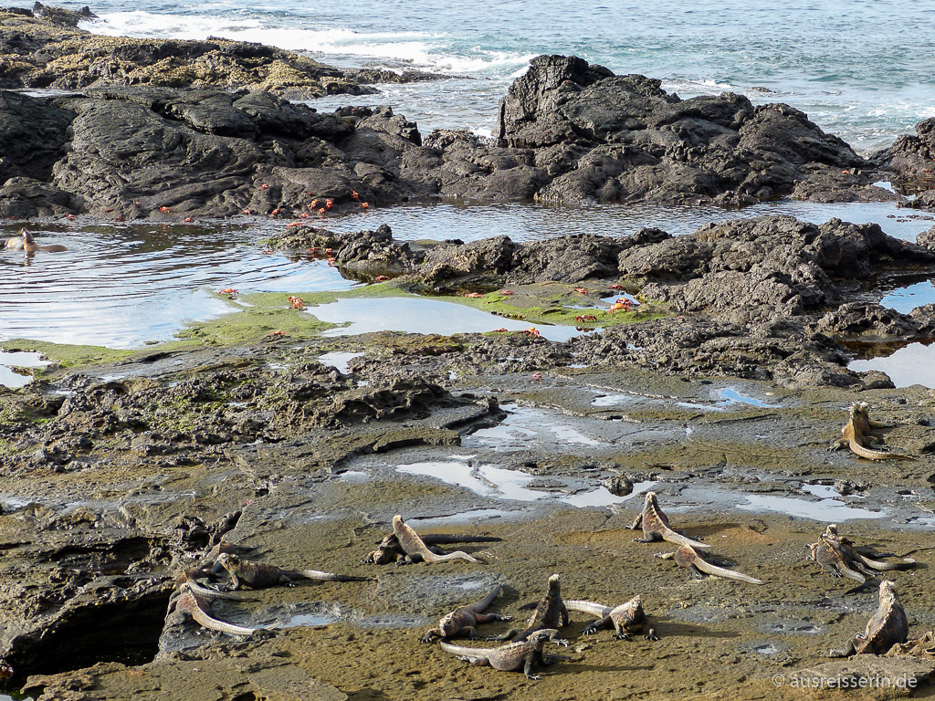 Meerechsen, Klippenkrabben und Seelöwen