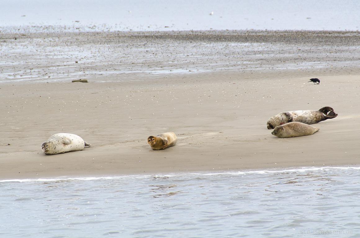 Seehunde oder Kegelrobben auf Fanø