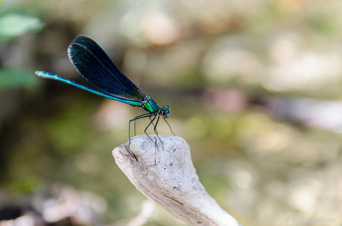 Libelle am Flusslauf in Frankreich