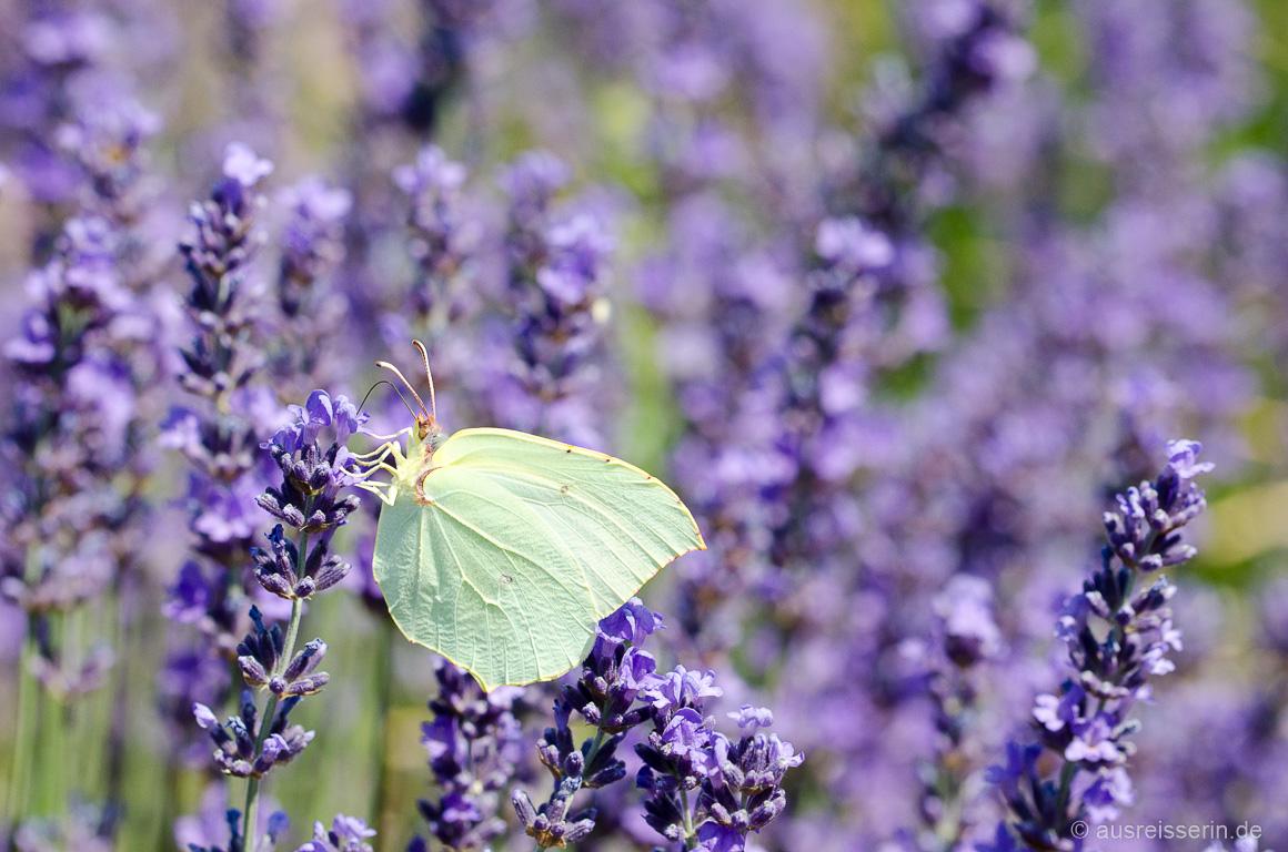 Mein schönstes Bild für die Fotoparade: Schmetterling im Lavendelfeld, Provence/Frankreich