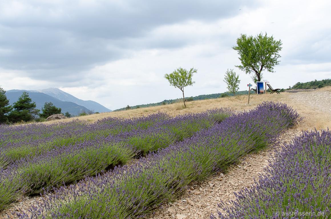 Lavendel mit Mont Ventoux im Hintergrund