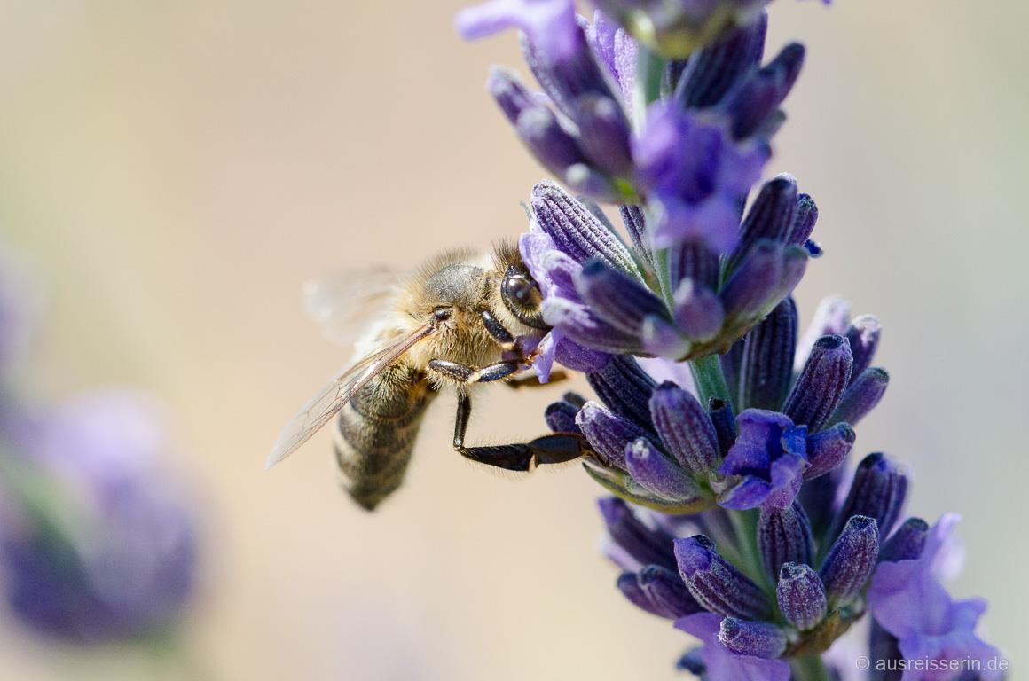 Biene trinkt Lavendel-Nektar