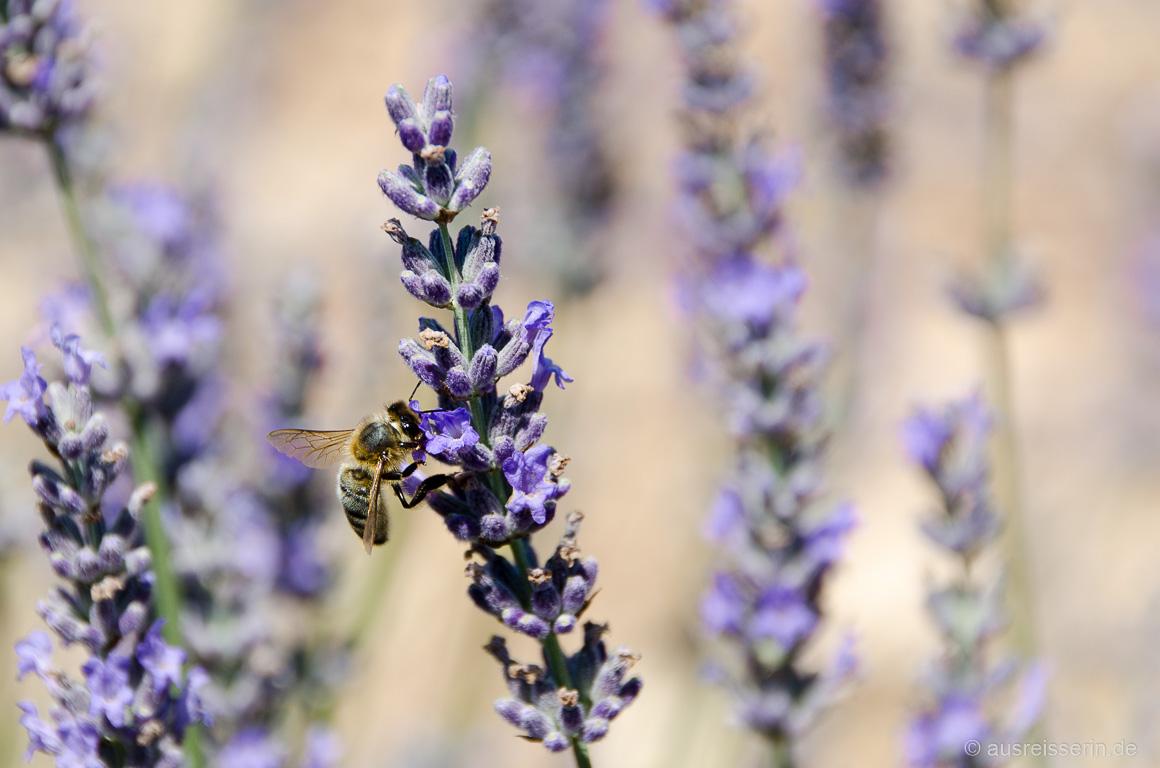 Lecker! Die Biene trinkt Lavendel-Nektar.