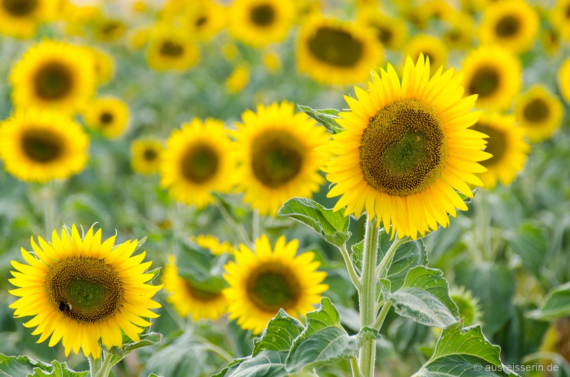 Leuchtende Sonnenblumen in Lagnes/Vaucluse