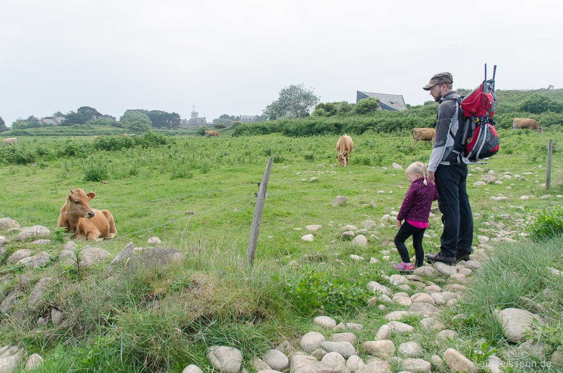 Kühe auf der Île de Bréhat