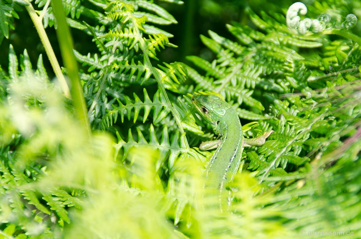 Kontrastarm: Grüne Eidechse auf grünem Farn.