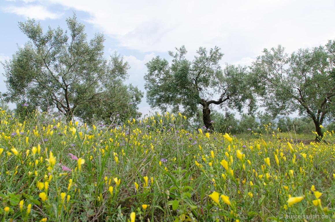 Olivenbäume und Wildblumenwiesen