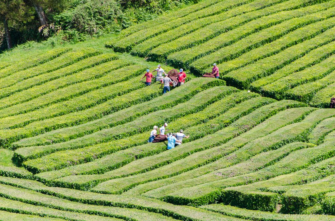 Arbeiter bei der Teeernte