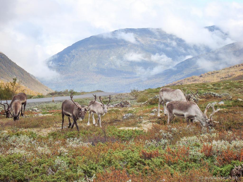 Rentierherde in der Hardangervidda